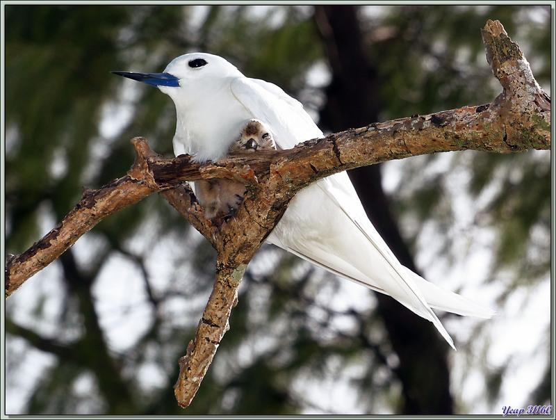 Gygis blanche ou sterne blanche ou sterne fée et son poussin (Gygis alba) - Bird Island - Seychelles