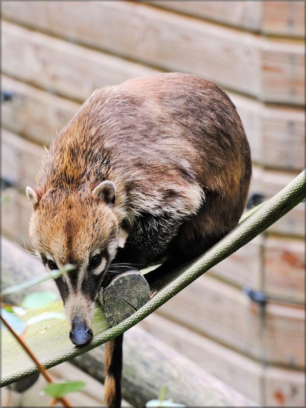 Photo de Coati à nez blanc - Zoo de la Boissière du Doré