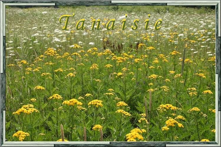 Vertus médicinales des plantes sauvages : Tanaisie