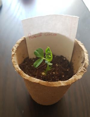 Les semis poussent