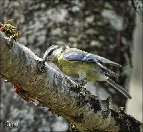 Oiseaux de chez nous