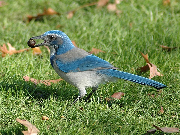 800px-Western Scrub Jay holding an Acorn at Waterfront Park