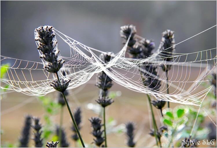 Les araignées tissent ...