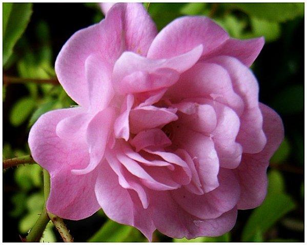 mon-petit-rose-2012.jpg