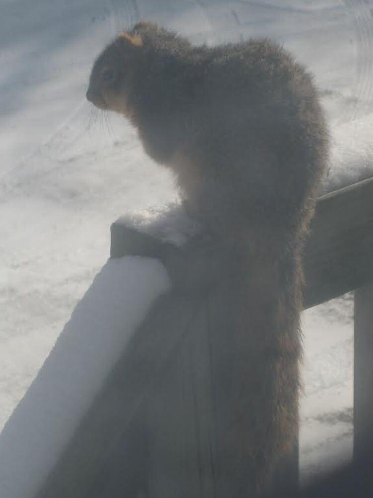 Ecureuil américain