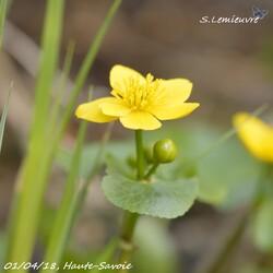 #374 Caltha palustris