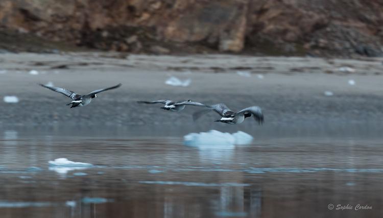 Le phoque de Kongsfjorden