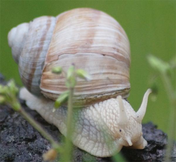Escargot de Bourgogne  -  Helix pomatia