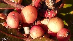 pistacialentiscusda
