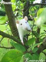 Photo Rat, Ploum - 08.06.11 - 01