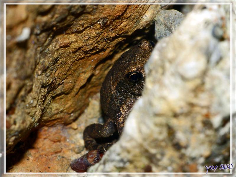 Juvéniles d'alytes (crapauds accoucheurs) et de crapauds communs - Lartigau - Milhas - 31