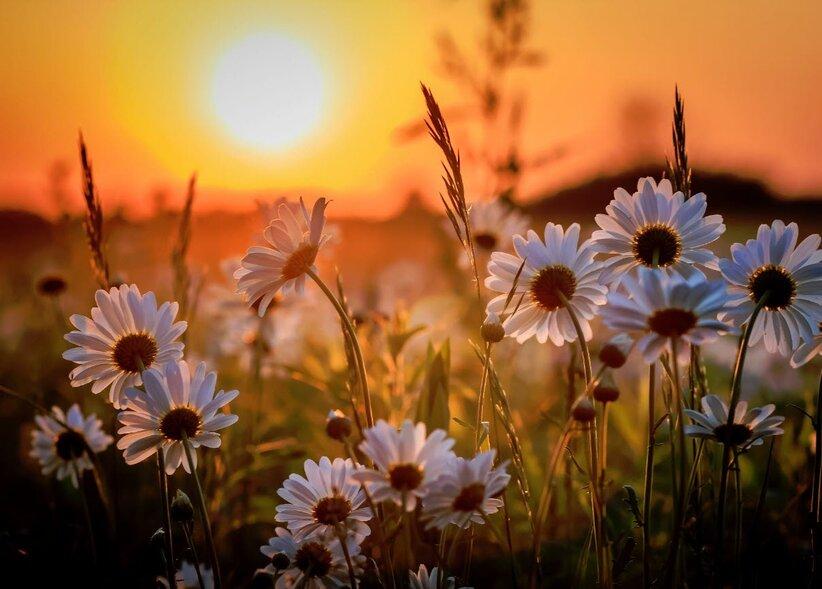 Soleil couchant et marguerites - Le Petit Royaume de Douceur de Lily