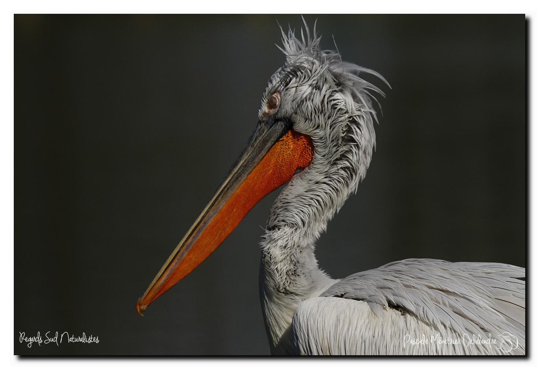 Pélicans frisés