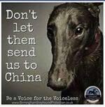 Pourquoi nous devrions tous nous sentir concernés par le massacre des greyhounds.