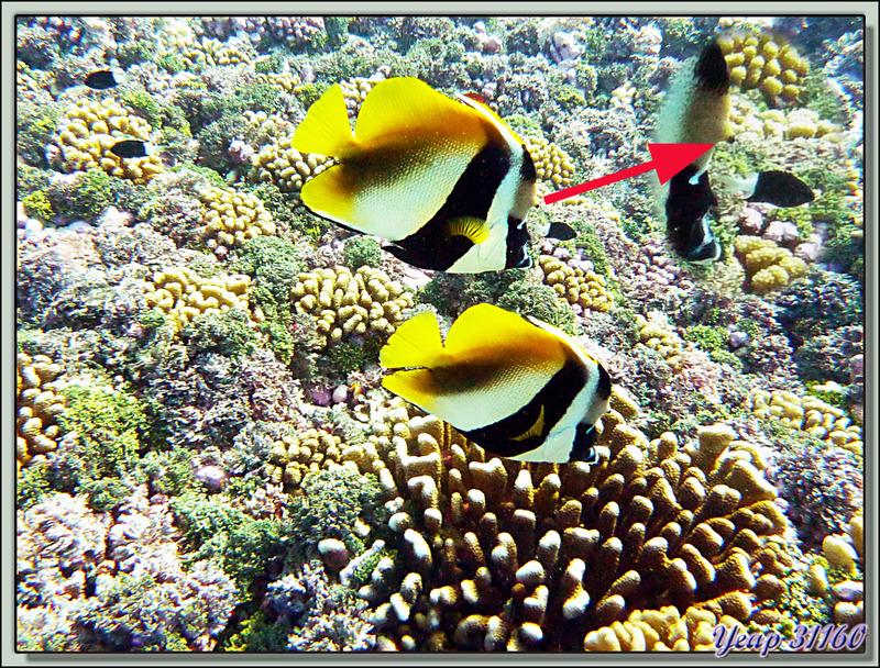 Plongée bouteille Passe de Tiputa: Poisson cocher cornu - Rangiroa - Tuamotu - Polynésie française