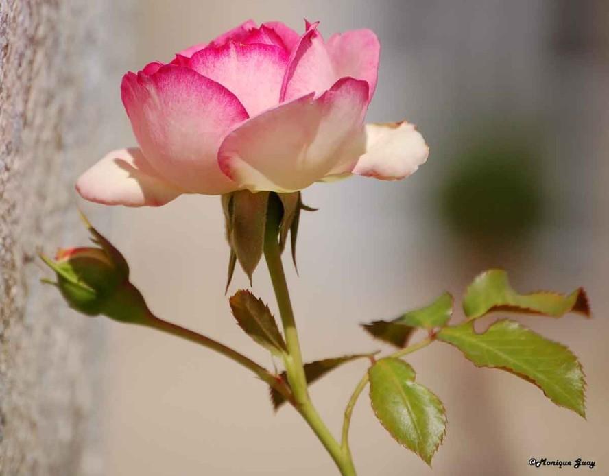 Floraison 8990-rose-al