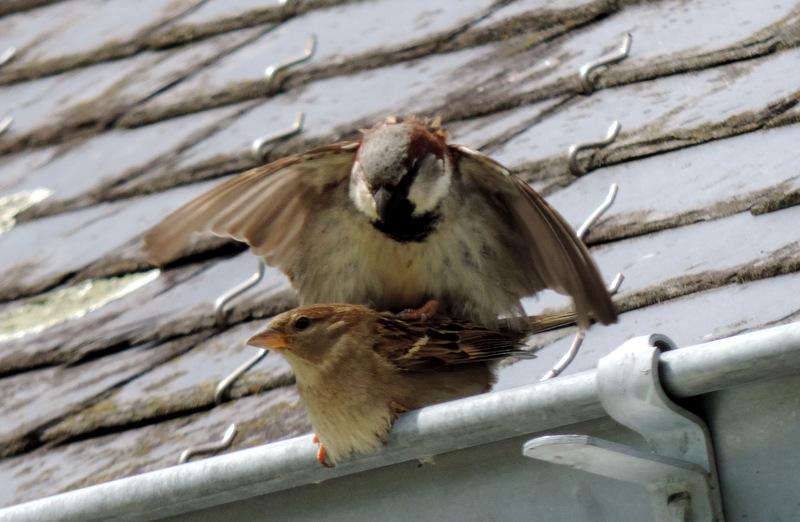 Ils étaient sur le toit, les moineaux !