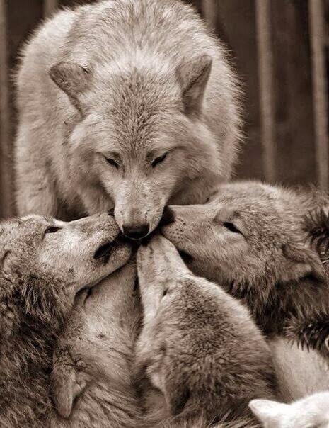 Hurlement des loups artitiques