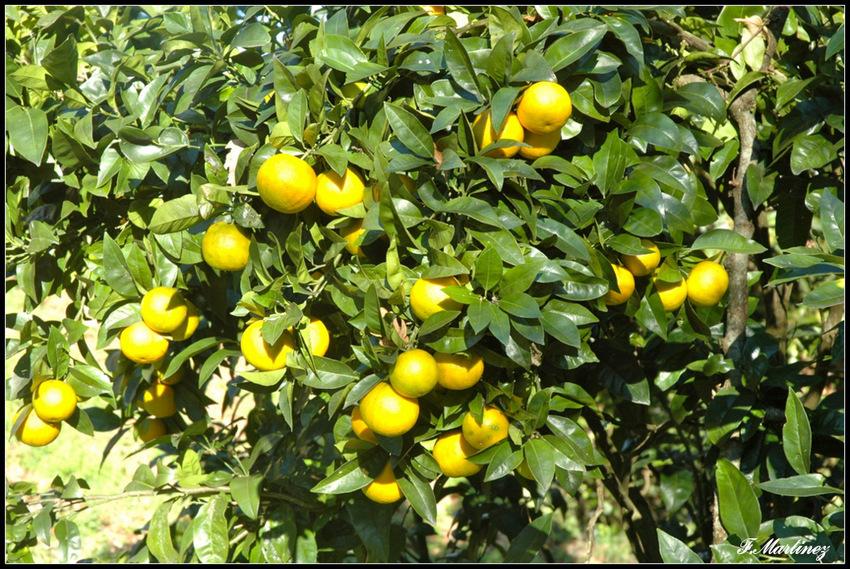 des oranges en janvier pas encore très mures