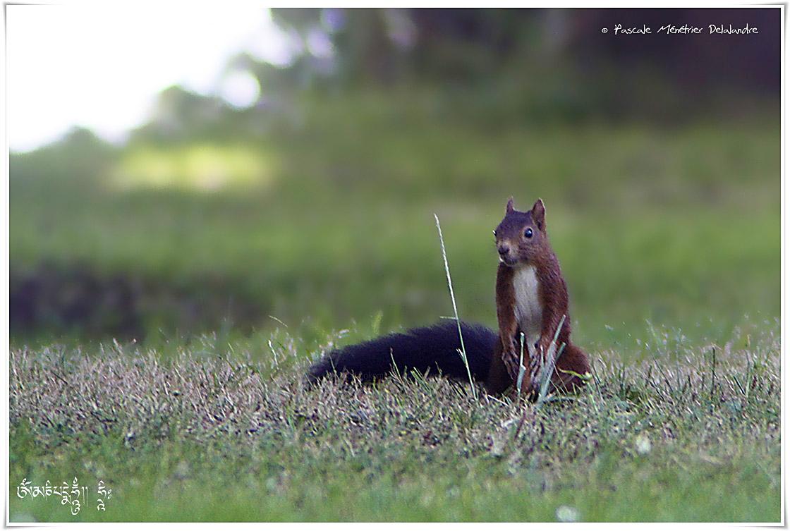 Ecureuils roux - Sciurus vulgaris