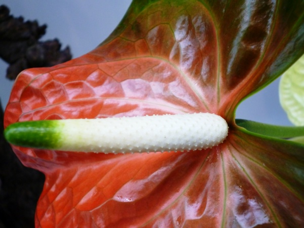 Anthurium, langue de feu