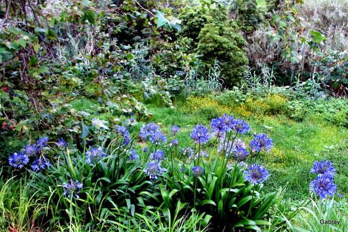 Açores: les fleurs du clivia et de l'agapanthe
