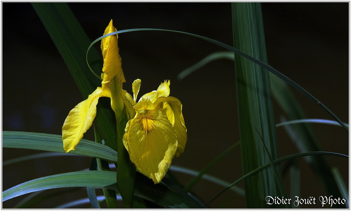 Iris des Marais (1) - Iris pseudacorus