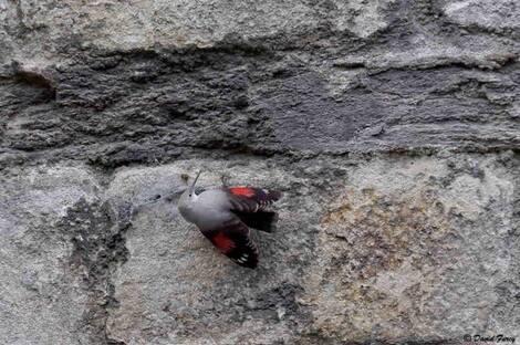 Le Tichodrome échelette,- l'oiseau papillon- à Nantes !