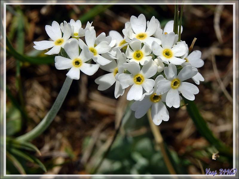 Tourbière couverte de Primevères de Magellan (Primula magellanica) - Terre de Feu - Argentine