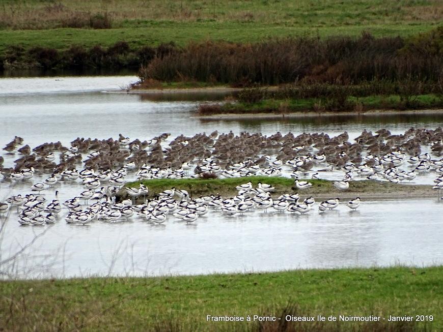 Les oiseaux de l'ile de Noirmoutier - Janvier 2019