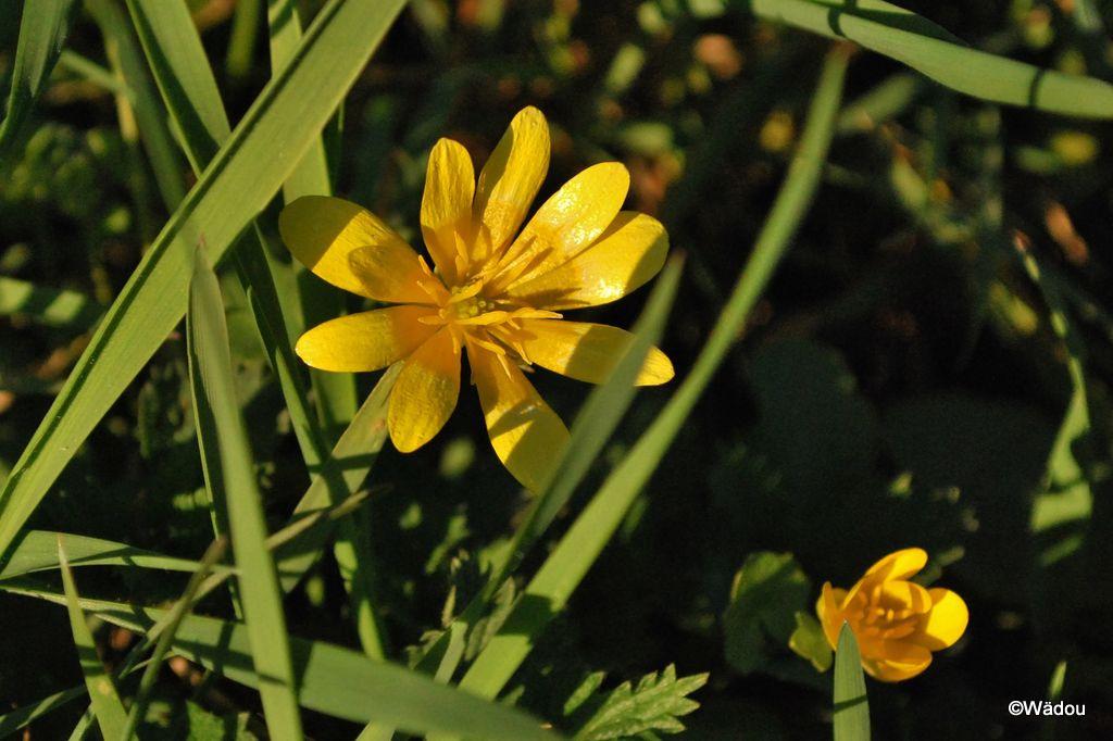 Ficaire à grandes fleurs  (Ranunculus ficaria subsp. ficariiformis)  Ranunculaceae