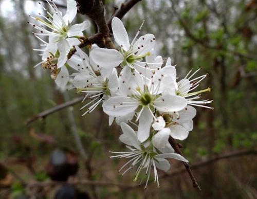"""""""Premières fleurs du printemps"""", une sortie proposée par la Maison de la Forêt..."""