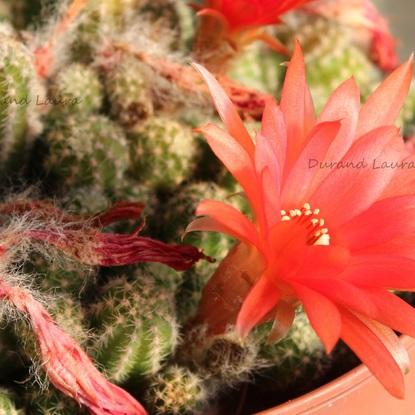 Lobivia Chamacereus Silvestrii en fleur