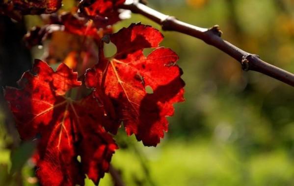 normal feuille-de-vigne-en-automne-04