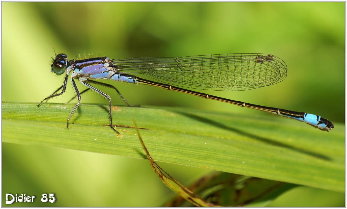 Agrion élégant (5) - Ischnura elegans