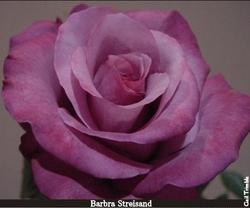 rose Barbra