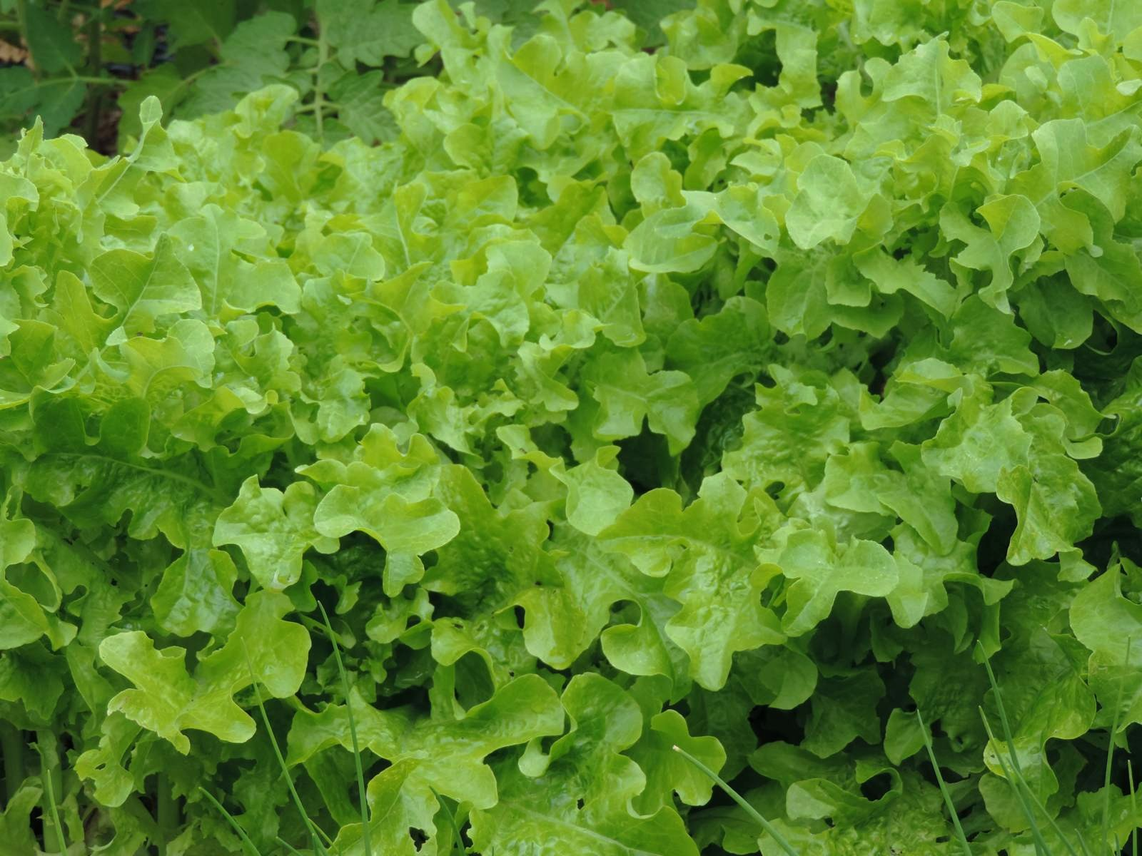 Mon micro potager le nouveau blog de shuki - Salade a couper qui repousse ...