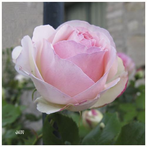 - La plus belle des roses
