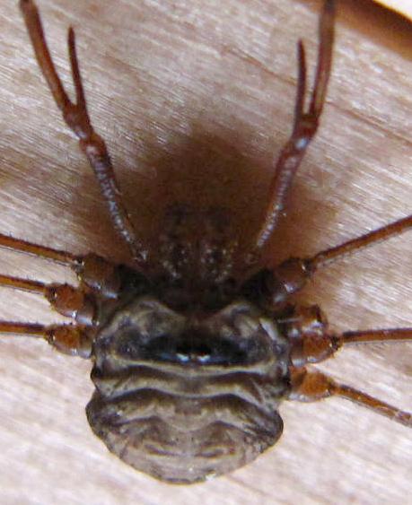 Opilion Dicranopalpus ramosus