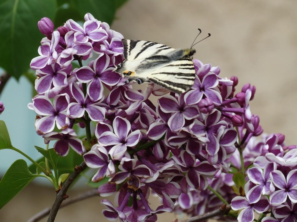 Machaon sur une grappe de lilas...