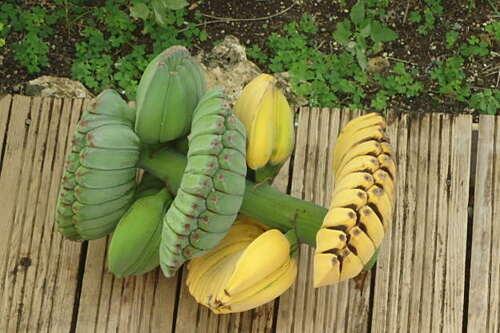 Bananier Musa Benedetta
