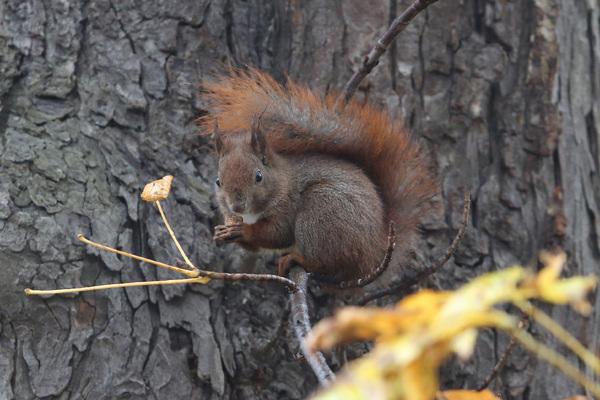 Les écureuils du parc Łazienki