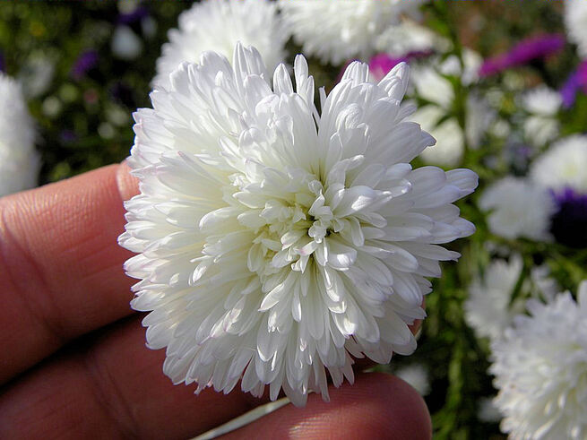 Asters double
