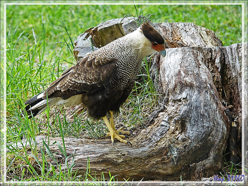 Caracara huppé, Carancho, Southern crested caracara (Caracara ou Polyborus plancus) - Peninsula de Magallanes - Patagonie - Argentine