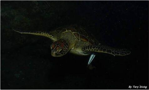 May Lee nage avec un leurre de pêche planté dans la nageoire antérieure gauche.
