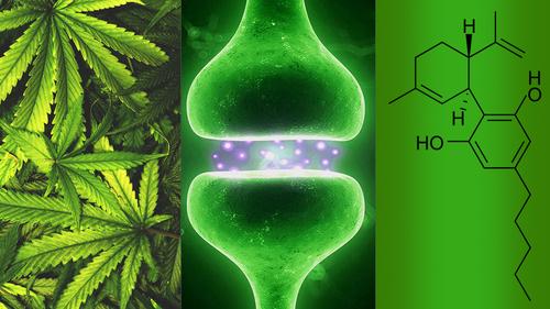 """Les """"cannabinoïdes"""" dans notre corps : action du THC"""