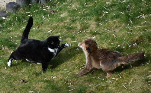 Quand un chat Woluwéen boxe un renard trop audacieux