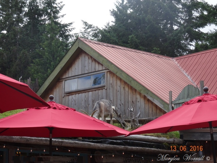"Nouvelles du Canada 110 : ""Goats on the Roof Market"" Coombs"
