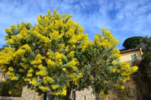 Bormes les Mimosas (2)