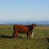 Vache salers sur le plateau de Collandres (3)